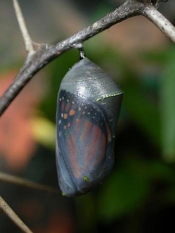 capullo monarca